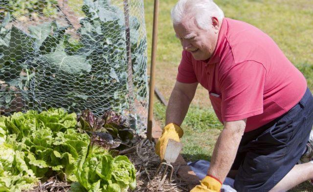 An older man gardening outside